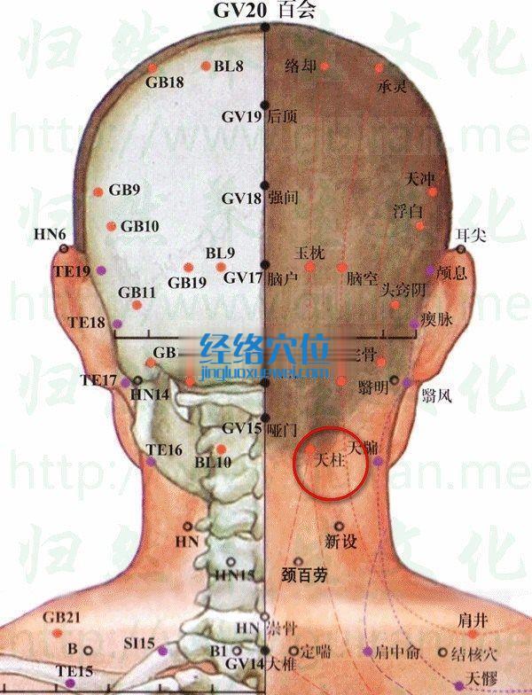 天柱穴的位置及解剖分析图