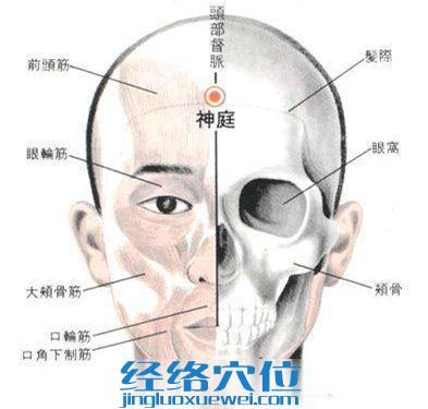 神庭穴的位置解剖分析图