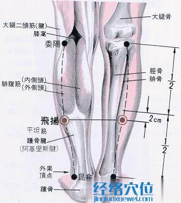 飞杨穴的解剖结构图