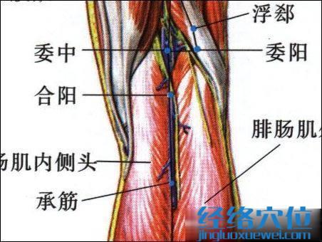 委阳穴的位置及解剖图