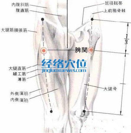 髀关穴的解剖分析图
