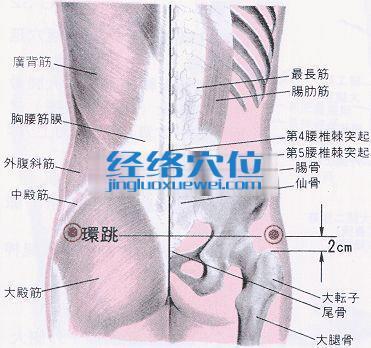环跳穴的位置解剖分析图