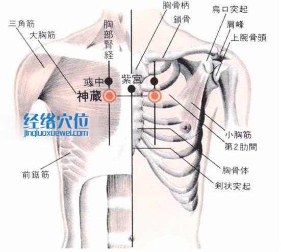 神藏穴的位置解剖分析图