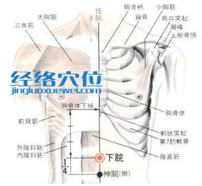 下脘穴的位置解剖分析图