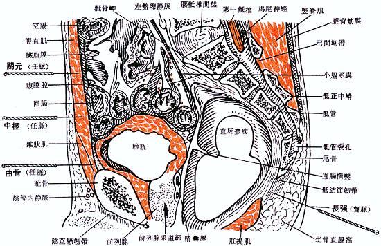 中极穴位解剖图