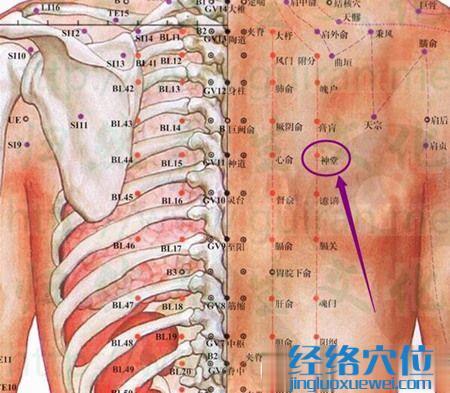 神堂穴的位置图及解剖结构