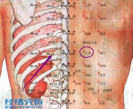 肝俞穴解剖分析图