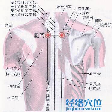 风门穴解剖分析图