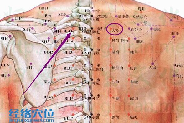 大杼穴解剖分析图