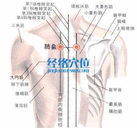 肺俞穴解剖图