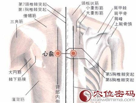 心俞穴的解剖分析图