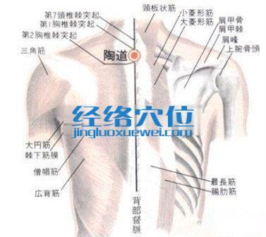 陶道穴的位置解剖分析图